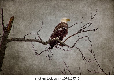 Bald eagle perched high on barren branches of tree.