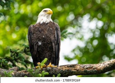 Bald eagle perched high in a tree over a lake in a national park