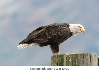 perched eagle images stock photos vectors shutterstock