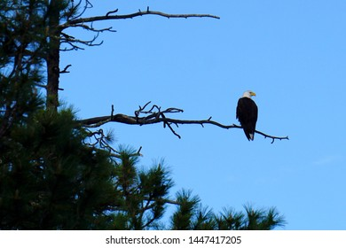 Bald Eagle Perched on a Branch Looking for Prey. Side View of Bald Eagle Sitting on a Tree.