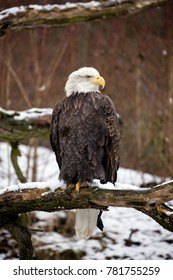 Bald eagle is perched on a dead tree branch and his head is turned to the side. Winter scene from nature with Haliaeetus leucocephalus sitting on a snowy branch. National bird United States of America