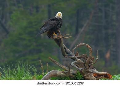 Bald Eagle perched on a driftwood stump. Cape Dauphin, Victoria County, Cape Breton Island, Nova Scotia, Canada.
