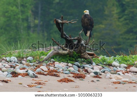 Bald Eagle perched on a driftwood stump. Cape Dauphin, Victoria County, Cape Breton Island, Nova Scotia, Canada.