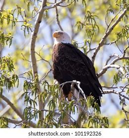 A Bald Eagle perched on a limb on a budding tree.