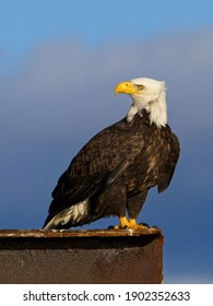 Bald eagle perched on Sidney BC coast against blue sky