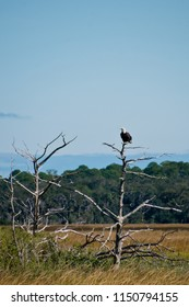 Bald Eagle perched on top of a dead tree along the intracoastal waterway in Florida USA