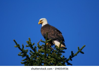 Bald eagle perched on top of tree