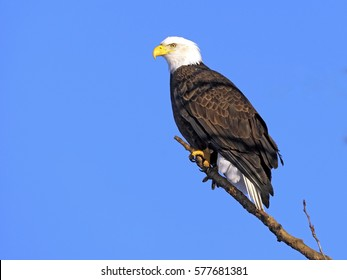 eagle perched images stock photos vectors shutterstock