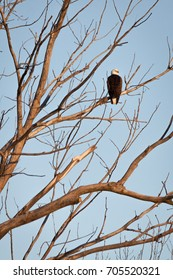Bald Eagle perched on a tree limb in the warm early morning light.