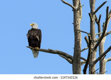 Bald eagle perched in a stand of dead trees.