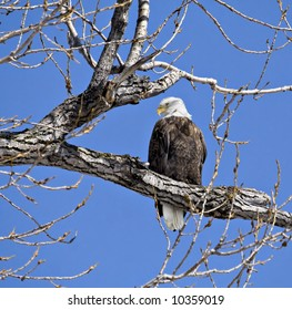 Bald eagle perched in a tree against a bright blue sky