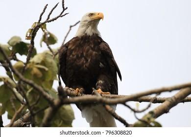 Bald Eagle perched in tree,  Alaska