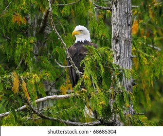 Bald Eagle perched in tree, Misty Fjords, Alaska