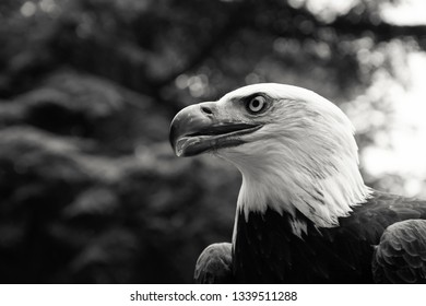 Bald eagle portrait against blurry tree background with bokeh. Black and white photo.