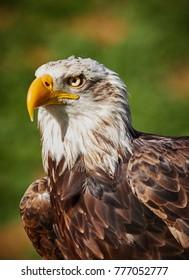 Bald eagle portrait close up