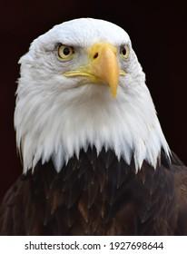 A Bald Eagle portrait (Haliaeetus leucocephalus) on a black background.