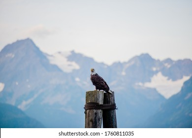Bald Eagle from Prince William Sound area cruise . Alaska AK American Road trip Sightseeing Nature - Prince William Sound - Whittier - Seward Area - salmon fishing towns and cruise launching spots
