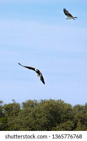 A Bald Eagle is pursued by another bird above the Gulf Intracoastal Waterway near Englewood, Florida