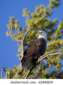 bald eagle scans its territory while perched in a pine tree; blue sky background