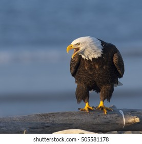 Bald eagle screaming on log waiting for food in Homer, Alaska