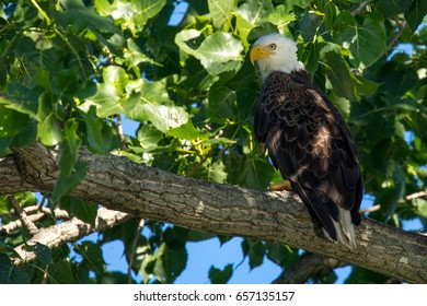 Bald Eagle in the shade.