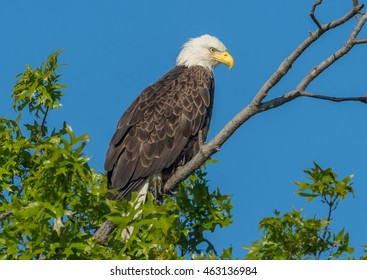 A bald eagle sits high atop a tree in Delaware.