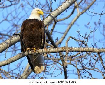 Bald Eagle sitting in Aspen tree, hunting, alert, looking down.