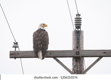 Bald eagle sitting on the crossbar of a wood utility pole