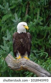 Bald eagle sitting on a dry branch, eagle portrait, wildlife wallpaper