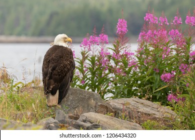 Bald eagle sitting on rock overlooking Pink Fireweed.