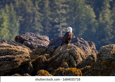 Bald Eagle sitting on the rocky coastline in Ketchikan Alaska