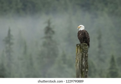 Bald Eagle sitting on tall wooden stump with misty forest background.