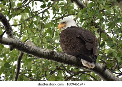 Bald eagle sitting in a tree, looking back over his shoulder.