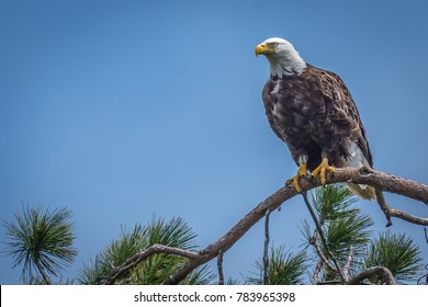 Bald Eagle sitting in the tree top watching over it's nest.