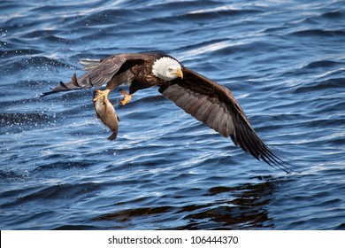 Bald eagle snatching a fish from water