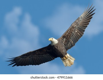 A bald eagle soaring.