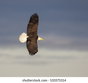 Bald eagle soaring over blue water with blue sky background