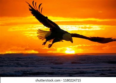 Bald Eagle soaring over ocean water at sunset