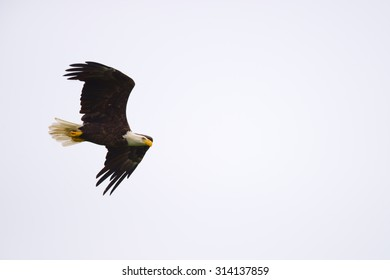 Bald eagle soaring with wings spread through the air.