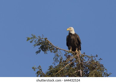 Bald eagle standing on a tree, seen in the wild in  North California