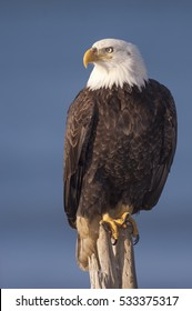 Bald eagle standing on wooden stick with blue sky background