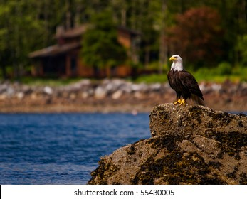 Bald Eagle standing watch
