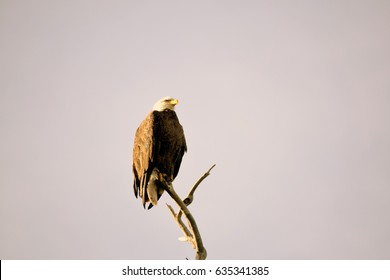 Bald Eagle stands tall on a bare branch set against a cloudless gray sky.