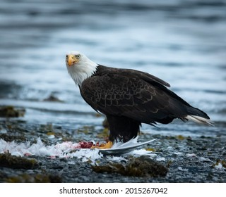 Bald Eagle Staring In The Distance