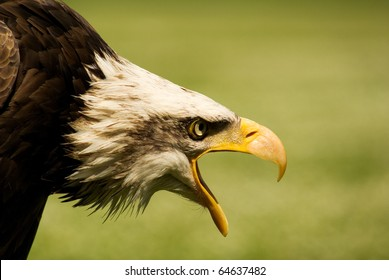 Bald eagle, strength of wild raptor