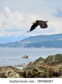 A bald eagle takes flight at Vancouver's Acadia Beach, with West Vancouver visible in the background.