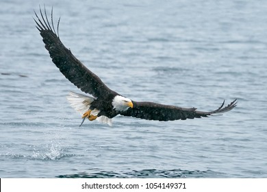 Bald Eagle taking off after catching a fish