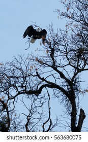 Bald eagle taking off from tree, California, Yosemite National Park