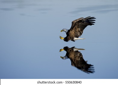 A Bald Eagle with its talons out glides over the mirror like surface of the water.