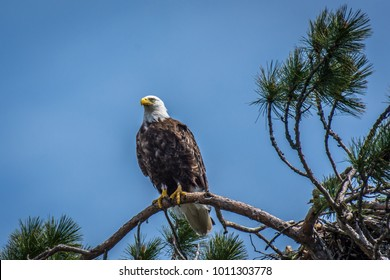 Bald Eagle in the top of a tall pine tree. Algonquin Park, Ontario, Canada.